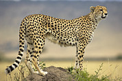 Mound Posters - Cheetah Acinonyx Jubatus On Termite Poster by Winfried Wisniewski