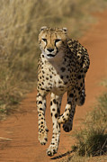 Cheetah Running Posters - Cheetah Acinonyx Jubatus Rescued Poster by Suzi Eszterhas