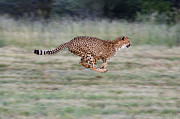 Acinonyx Framed Prints - Cheetah Acinonyx Jubatus Running Framed Print by Suzi Eszterhas