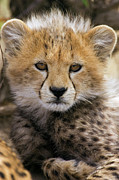 Cheetah Acinonyx Jubatus Ten To Twelve Print by Suzi Eszterhas