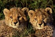 Cheetah Acinonyx Jubatus Two Cubs Print by Peter Blackwell