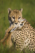 Acinonyx Posters - Cheetah Acinonyx Jubatus With Its Kill Poster by Suzi Eszterhas