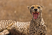 Cats Photo Prints - Cheetah Print by Adam Romanowicz