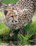 Cheetah Photos - Cheetah At Pond by Gail Shotlander