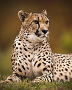 Cheetah Photo Originals - Cheetah Beauty by Chad Davis
