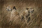 Cheetah Photo Originals - Cheetah Brothers by Joseph G Holland