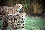 Cheetah Photo Originals - Cheetah Brothers by Randy Matthews