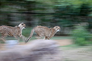 African Cats Prints - Cheetah Chase Print by Joseph G Holland