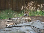 Cheetah Photo Originals - Cheetah by Cheryl Allin