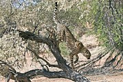Cheetah Acrylic Prints - Cheetah Climbing Off A Tree Acrylic Print by Tony Camacho