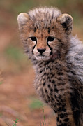 Safari Animals Posters - Cheetah Cub (acinonyx Jubatus) On Savannah, Kenya Poster by Anup Shah