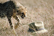 Cheetah Photo Posters - Cheetah Cub Approaches Hat Poster by Greg Dimijian