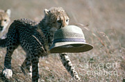 Cheetah Photo Posters - Cheetah Cub Carrying Hat Poster by Gregory G. Dimijian