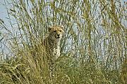 Cheetah Acrylic Prints - Cheetah Cub in Grass Acrylic Print by Michele Burgess