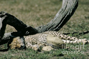 Cheetah Cub Sleeping And Guarding Hat Print by Greg Dimijian