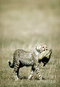 Cheetah Cub With Hat Print by Greg Dimijian