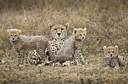 Cheetah Acrylic Prints - Cheetah Cubs And Mother, Ngorongoro, Tanzania Acrylic Print by Paul Souders