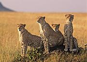 Cheetah Prints - Cheetah family Print by Johan Elzenga