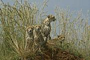 Cheetah Photo Posters - Cheetah Family Poster by Michele Burgess