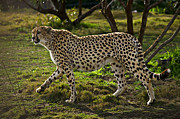 Camouflage Acrylic Prints - Cheetah  Acrylic Print by Garry Gay