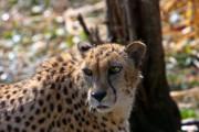 Cheetah Gazing Print by Douglas Barnett