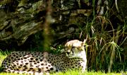 Outlook Photos - Cheetah  Glance by Debra     Vatalaro