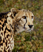 Large Sized Metal Prints - Cheetah Metal Print by Grace Dillon
