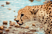 Cheetah Headshot Print by Darcy Michaelchuk