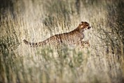 Acinonyx Jubatus Photos - Cheetah In Grass by Tony Camacho