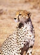 Savannahs Framed Prints - Cheetah In Maasai Mara Game Reserve Framed Print by Axiom Photographic