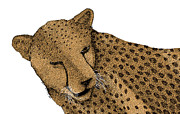 Cheetah Drawings Framed Prints - Cheetah Framed Print by Karl Addison