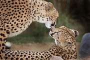 African Cats Prints - Cheetah Kiss Print by Joseph G Holland