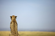 Cheetah Photos - Cheetah, Maasai Mara by Heinrich van den Berg