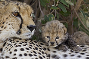 Acinonyx Sp Framed Prints - Cheetah Mother And 7 Day Old Cub Maasai Framed Print by Suzi Eszterhas