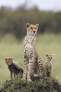 Acinonyx Posters - Cheetah Mother And Cubs Poster by Suzi Eszterhas