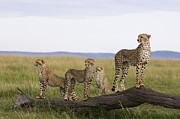 Acinonyx Sp Framed Prints - Cheetah Mother Cubs Masai Mara National Framed Print by Suzi Eszterhas
