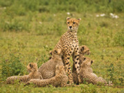 Cheetah Photo Originals - Cheetah Mum and six cubs by Gary Maynard
