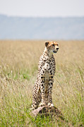 Cheetah Photos - Cheetah On Mound by Nick Lawes