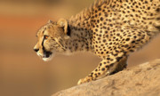 Cheetah Digital Art Posters - Cheetah on Rock Poster by Stu  Porter