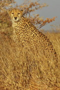 Cheetah Hunting Posters - Cheetah on Watch Poster by Tom Cheatham