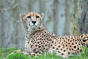 Cheetah Photos - Cheetah by Photography by Lance Mills