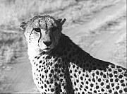 Cheetah Photo Originals - Cheetah Pose by Susan Chandler