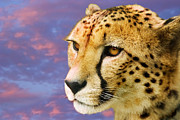 Acinonyx Jubatus Photos - Cheetah by Power And Syred