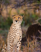Cheetah Photos - Cheetah by Robyn Gianni