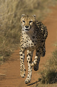 Acinonyx Sp Framed Prints - Cheetah Running In Namibia Framed Print by Suzi Eszterhas