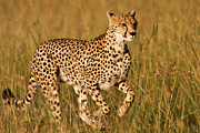 Cheetah Photos - Cheetah Running by Manoj Shah