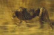 Acinonyx Posters - Cheetah Running Through Dry Grass Poster by Tim Fitzharris