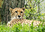 Cheetah Photo Posters - Cheetah Poster by Sharon Lisa Clarke
