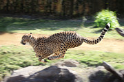 Cheetah Running Framed Prints - Cheetah Sprint Framed Print by Joseph G Holland