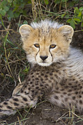 Jubatus Posters - Cheetah Ten Week Old Cub Portrait Poster by Suzi Eszterhas